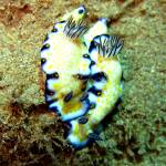"""Imperial Nudibranchs"" by MKJimages"