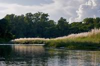 Elephant grass on the Rapti River, Chitwan, Nepal