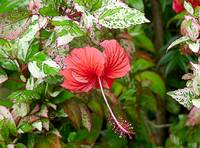 Dominican Cayena Flower