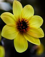 Yellow Star Dahlia