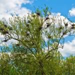 """blue heron nests"" by leezie5"