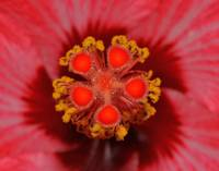 Inner world Of The Hibiscus.