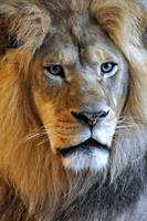 Themba the Lion