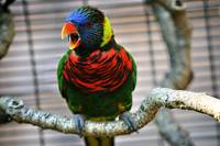 Singing Lorikeet