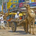 """The camel carts of Sikandra, Rajasthan, India"" by ChristopherByrd"