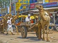 The camel carts of Sikandra, Rajasthan, India