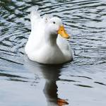 """white duck"" by ashleyc_1617"