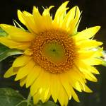 """""""Sunflower, My Favorite!"""" by ctoby5"""