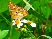 Anarthia Butterfly