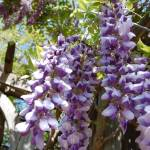"""Wisteria"" by rbagwell"