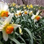 """""""Daffodil Trail No. 1"""" by dmpweb"""