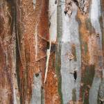 """Eucalyptus Tree Bark"" by DonBakerPhotography"