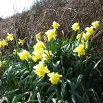 """Cornish Daffodils (5867)"" by poddys"