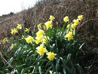 Cornish Daffodils (5867)