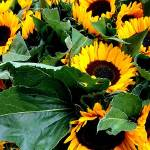 """Sunflowers"" by dmpweb"