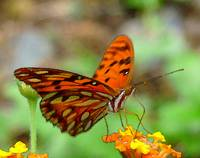 Butterfly Agraulis Vanillae