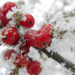 """""""Frosted Berries"""" by nankysphotos"""