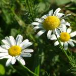 """""""A Trio of Daisies"""" by JRKlenPhotography"""