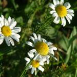 """""""Wild Daisies"""" by JRKlenPhotography"""
