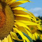 """Sunflowers!"" by travelingmcmahans"