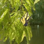 """Cypress Tree and Swallowtail Butterfly"" by spadecaller"