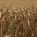 """""""Harvest Pending"""" by kaminskimichael"""