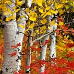 """Autumn Aspens"" by paulwnashphotography"