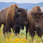 """Bison Buddies"" by paulwnashphotography"