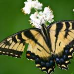 """Eastern Tiger Swallowtail Butterfly"" by Trimere"