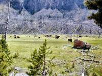 Grazing Buffalo 2