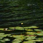 """Yellow Pond Lily"" by Trimere"