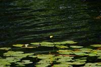 Yellow Pond Lily