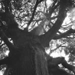 """Big Tree"" by rbagwell"