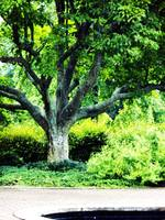 Bernheim Tree