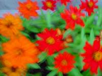 Zinnias on Speed