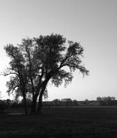 Lone Tree - Black & White