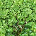 """""""Green Japanese Maple"""" by ScovoPhoto"""