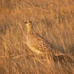 """Sharp-Tailed Grouse"" by nankysphotos"