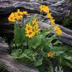 """Balsamroot"" by dkocherhans"