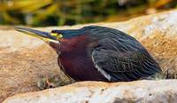 Green Heron on Alert