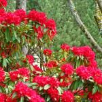 """""""Red Rhododendron Garden Landscape Baslee"""" by BasleeTroutman"""