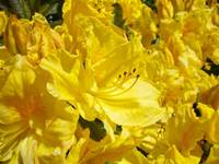 Rhododendrons Flowers art prints Yellow Rhodies