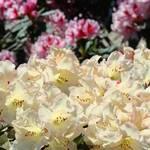 """Rhododendron Flowers Garden art Prints Yellow"" by BasleeTroutman"