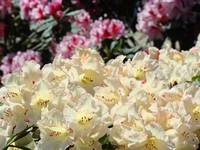 Rhododendron Flowers Garden art Prints Yellow