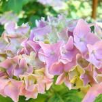 """""""Summer Hydrangea Flowers Pink Florals Baslee"""" by BasleeTroutman"""