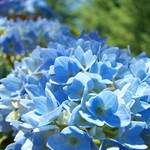 """Blue Hydrangea Summer Flower Garden Baslee"" by BasleeTroutman"