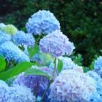 """""""Hydrangea Garden Landscape Summer Floral Blue"""" by BasleeTroutman"""