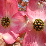 """Beautiful Pink Dogwood Flowers art print Floral"" by BasleeTroutman"
