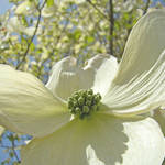 """White Dogwood Floral Tree Flowers art prints"" by BasleeTroutman"