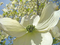 White Dogwood Floral Tree Flowers art prints